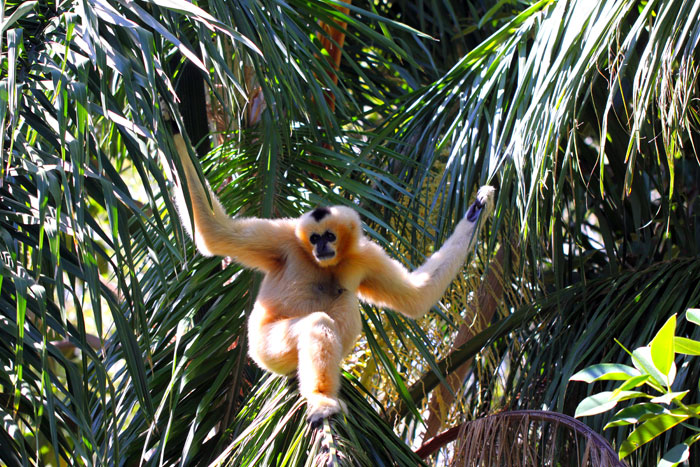 Female Northern White-Cheeked Gibbon in Adelaide