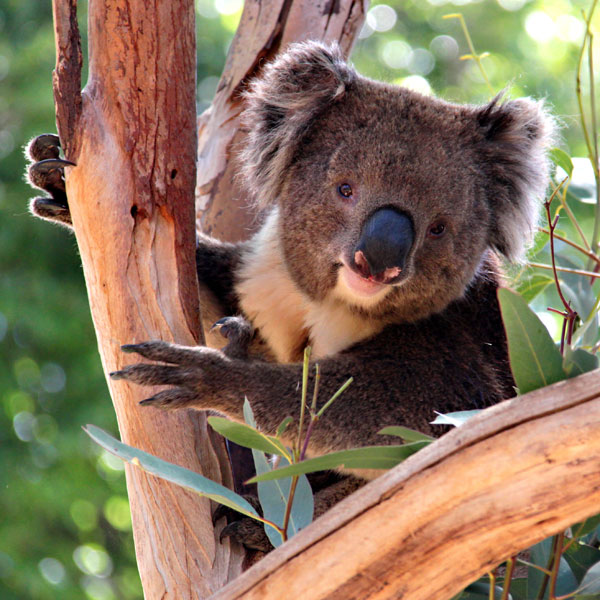 Koala in Eucalyptus Tree, Adelaide
