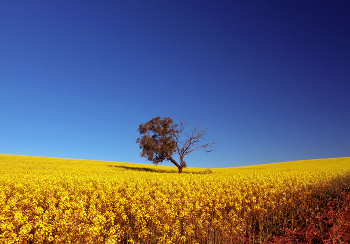 Tree in Canola Field, Adelaide