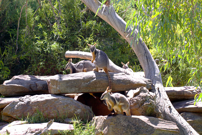 Yellow-Footed Rock Wallabies – Adelaide