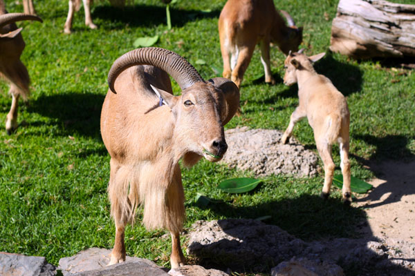 Herd of Barbary Sheep at Adelaide Zoo